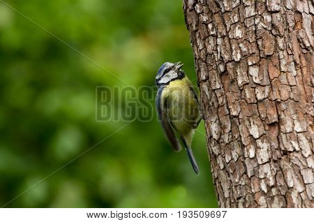 Blue Tit (cyanistes Caeruleus) Perched On Tree Trunk