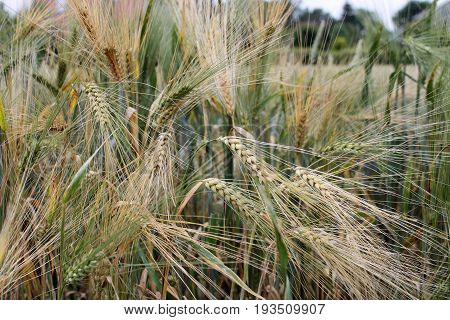 Ripening Barley Barley  field after the rain Color Game Concept of play of light and colors