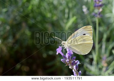 Close view of the small yellow butterfly on purple Lavander flowers