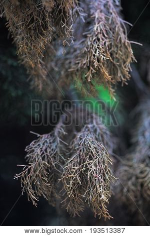 Evergreen juniper background. Photo of bush with withered yellow needles. Ornamental thorns of Juniperus communis treetop edges branches of a juniper Close-up background