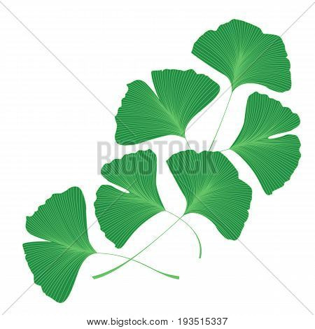 Vector Illustration ginkgo biloba leaves. Background with green leaves