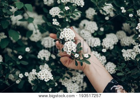 white spiraea spirea flowers on green blooming branch. cantoniensis meadowsweet in woman hand greenery. environmental concept. space for text. springtime. hello spring