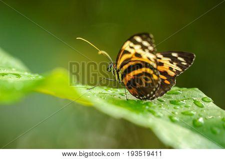 Beautiful Butterfly On Green Leaf Between Waterdrops