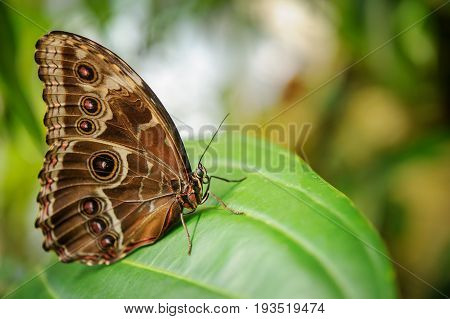 Butterfly From Side With Closeup Wings On Green Leaf