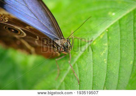 Close Head Detail Of Butterfly Morpho Peleides