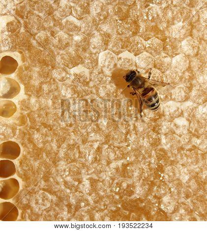 Honey bee , close up image .