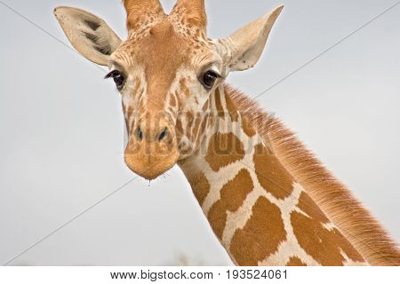 Close-up Of A Giraffe Neck And Head
