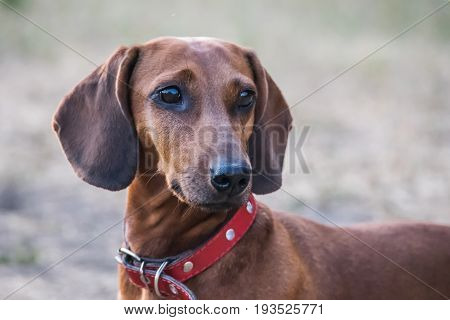 A beautiful dachshund dog portrait outdoor at summer