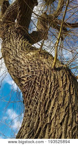 Beautifully grooved tree trunk against the sky. Photographed in Canterbury in the UK