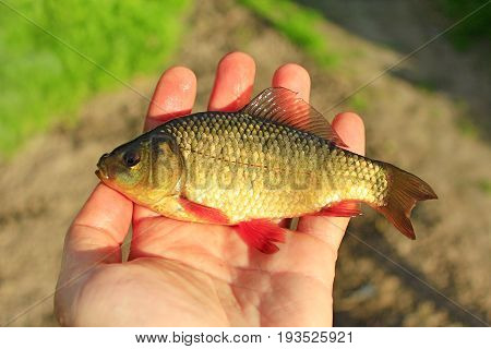 caught red crucian on the human palm