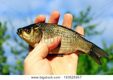caught Prussian carp on the human hand