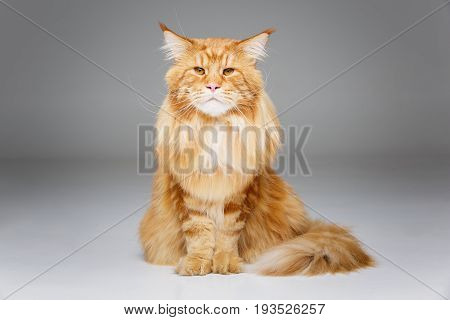 beautiful big maine coon cat. Copy space. Studio shot on grey background.