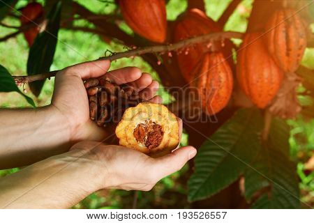 Farmer hold cacao seeds in hands palms om tree cocoa backgraund. Farmer harvest results