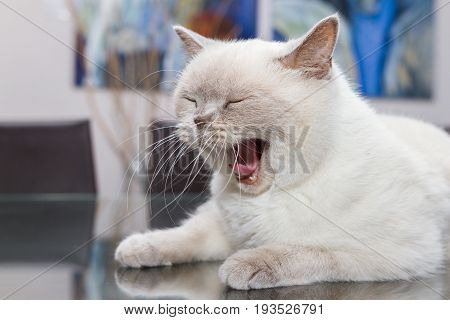 Yawning White British Shorthair Cat