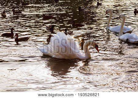 Two white swans float on water in park White swans floating river