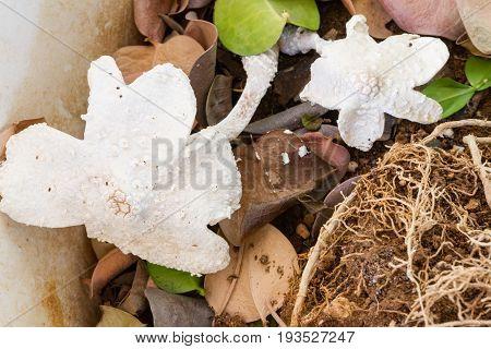 White bracket fungi in a flower pot