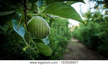 Young Green Apples Hang On An Apple Tree In A Apple Orchard
