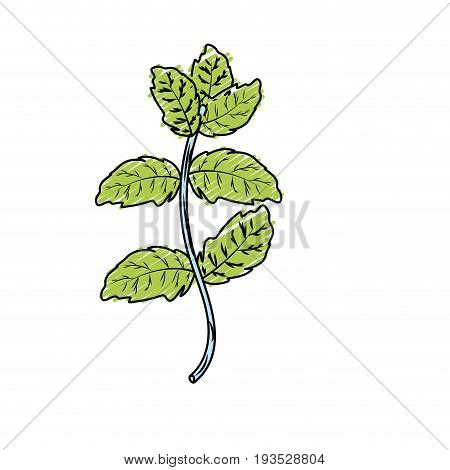 peppermint plant ingredient to condiment of food vector illustration