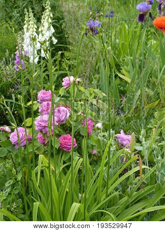 Flower garden with pink roses iris and foxgloves