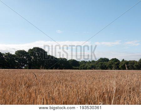 Stock Photo - Field Of Golden Grass Wheat In Summer Wivenhoe Essex England Uk