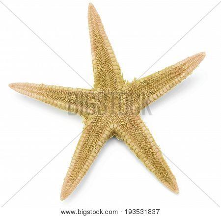 Seastar, isolated on white background close up image