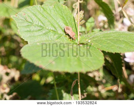 Stock Photo - Dock Bug Insect Resting On Leaf Coreus Marginatus England Uk