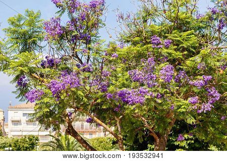 Beautiful purple flowers on a green Jacaranda tree. People's houses backgorund. Greece, Corfu island