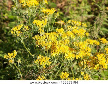 Stock Photo - Hoary Ragwort (jacobaea Erucifolia / Senecio Erucifolius) In Flower