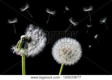 Dandelion flower and flying seeds on black background.