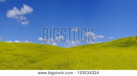 Very clorful yellow field of rapeseed which is used for oil production.
