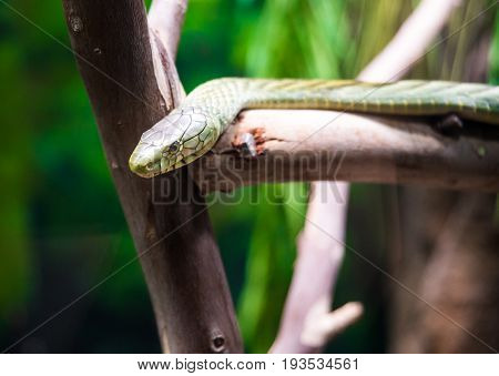 The black mamba is a venomous snake endemic to parts of sub-Saharan Africa. Skin colour varies from grey to dark brown.