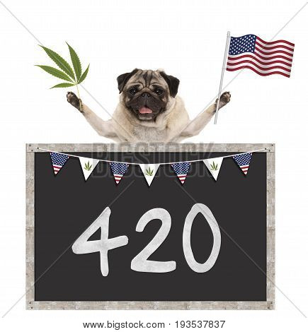 Happy smiling pug puppy dog waving American National flag of USA with 420 on blackboard isolated on white background