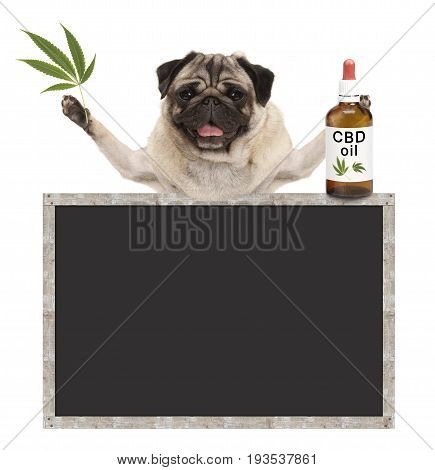 smiling pug puppy dog holding bottle of CBD oil and hemp leaf with blank blackboard sign isolated on white background