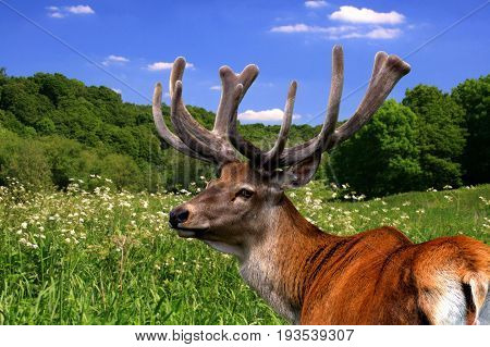 Red deer stag with velvet covered antlers