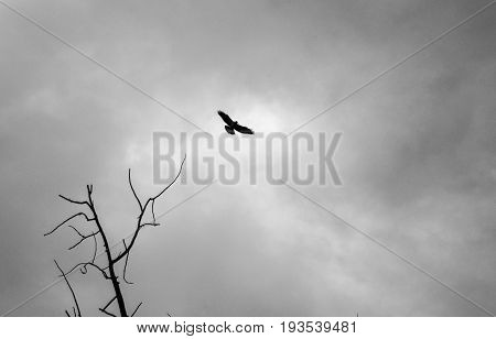 Black and White of Hawk Soaring Across Dark Sky with Tree in Foreground