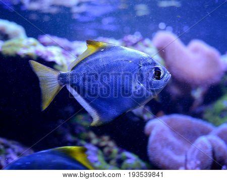 Silver moony, Monodactylus argenteus, in aquarium. Tropical coral reef marine life