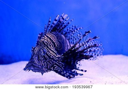 Lion Fish in a Blue Water of Aquarium Marine life background