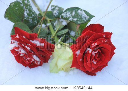 An ivory white rose between two red roses in the fresh snow