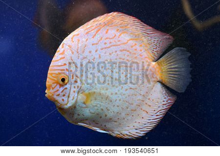 Bright freshwater Symphysodon discus, amazon river fish.