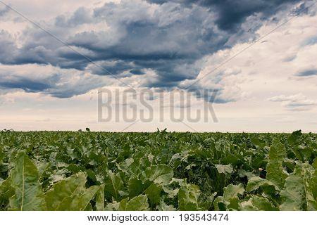 Sugar beet crops field agricultural landscape. Agriculture background.