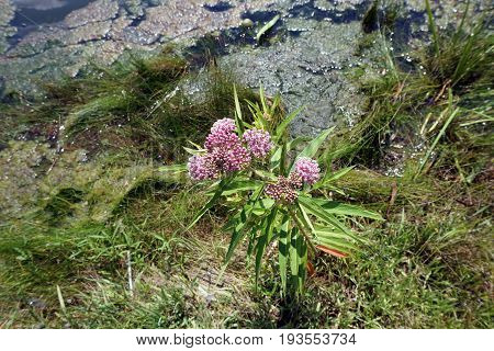 Swamp milkweed (Asclepias incarnata), also known as rose milkweed, rose milkflower, swamp silkweed, and white Indian hemp, blooms beside a small lake in Joliet, Illinois during July