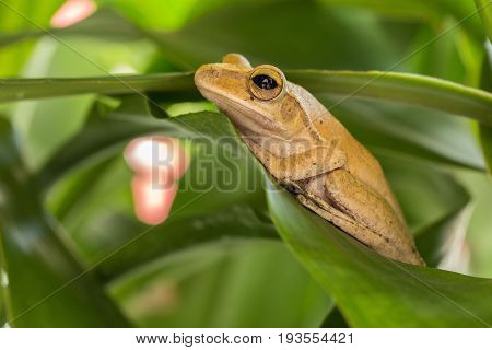 Frogs nest on green leaves in the garden.