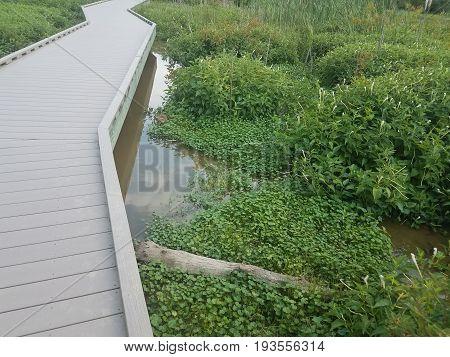 muskrat eating in the water in wetland area
