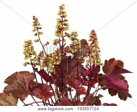 Close Up Of Heuchera Plant