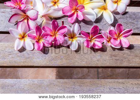 Plumeria flower pink and white frangipani tropical flower, plumeria flower bloominge, spa flower.