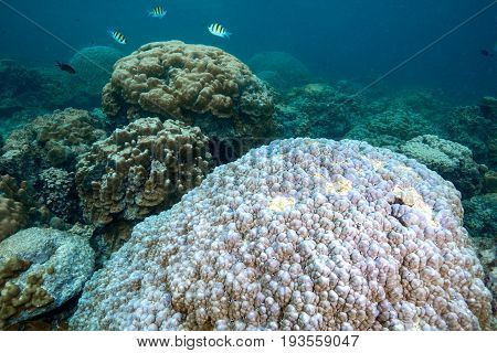 White color of hard corals is coral bleaching. Global worming is effect to coral dead Andaman sea Thailand