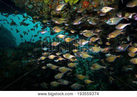 school of Black-edged sweeper (Pempheris mangula) inside the cave Andaman sea Thailand