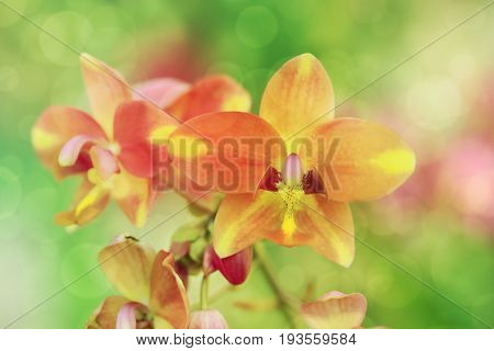Coral pink color Spathoglottis or Ground orchid flower soft focus with spring bokeh background..