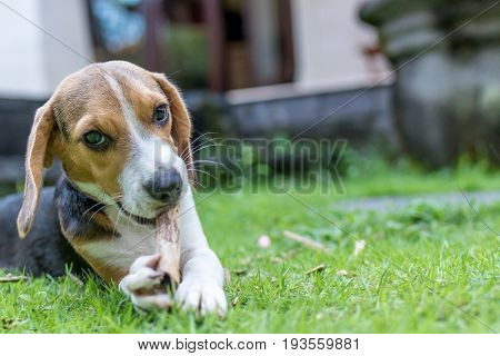 Cute puppy beagle dog on a natural green background. Tropical island Bali.