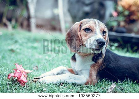 Cute puppy beagle dog on a natural green background. Tropical island Bali.